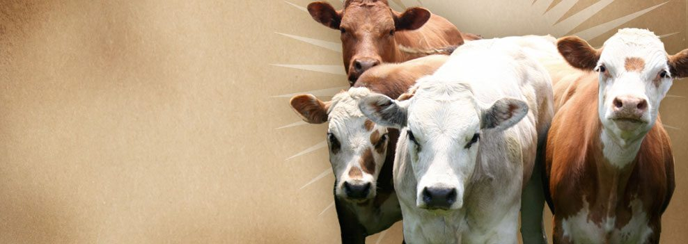 Have your herd? - cows